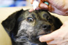 愛犬ライカの眼検診