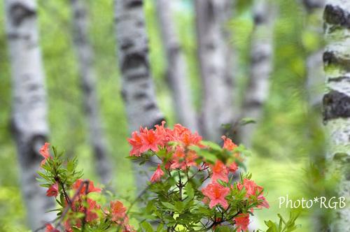 レンゲツツジと白樺