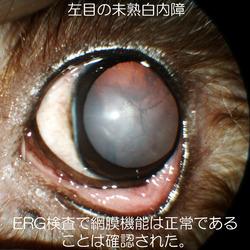 トイプードルの左目の未熟白内障