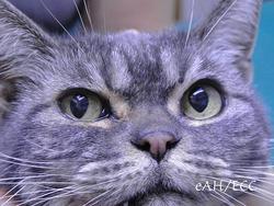 シニア猫のチェリーアイ手術 手術後10日目