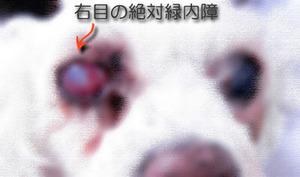 犬の絶対緑内障