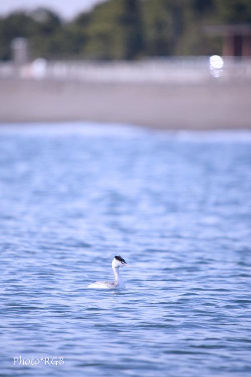 東京湾のカンムリカイツブリ  Svnd