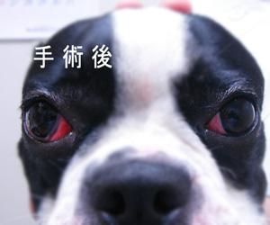 手術後 チェリーアイ SNY−T9