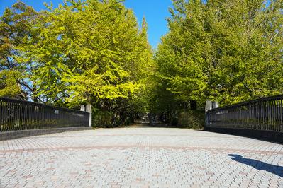 かたらいのイチョウ並木 ジョウビタキ♂はこの橋の欄干にいました。 rx10m3
