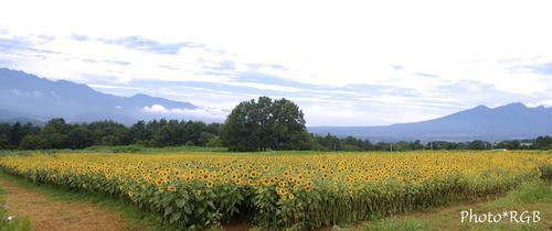 ヒマワリ畑 バック右の山並みは八ヶ岳