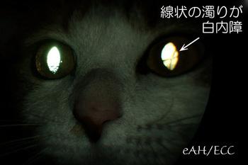 光る目: 左目の猫の白内障