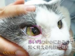 猫の角膜分離症(右眼)