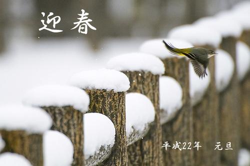 迎春 平成22年 雪の中のキセキレイ D300