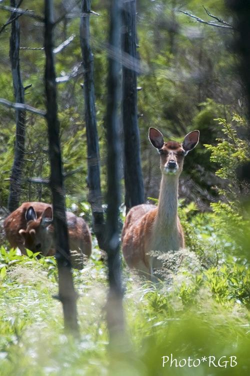野生の鹿 D300