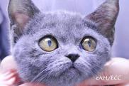 診断的治療 BSH子猫の両耳の皮膚炎