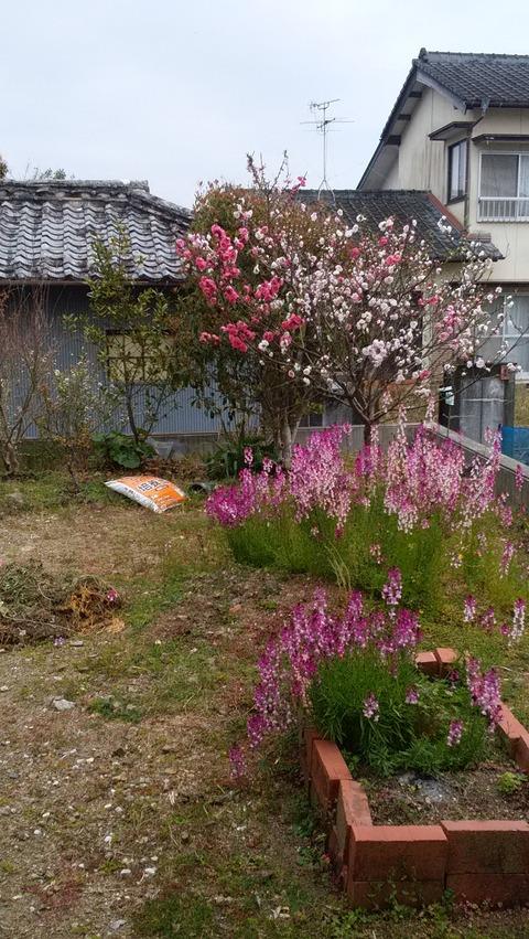 絵金の庭桃