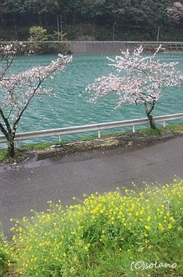 肥薩線、海路駅の桜