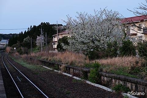 夜明け前の周布駅、廃ホーム跡の桜