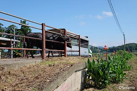 肥前長野駅、側線ホーム跡に繋がれた牛