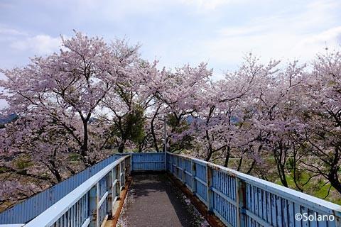 江崎駅、跨線橋から見る桜並木