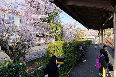 西浜田駅2番ホーム、満開の桜