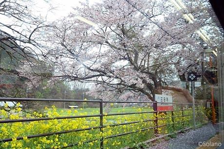 姫新線、車窓から見た三日月駅の桜と菜の花