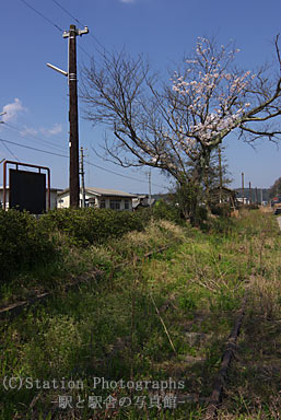 石見横田駅・側線跡と桜