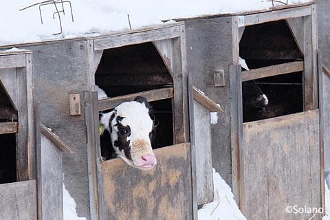下白滝駅前、牛舎の中の子牛