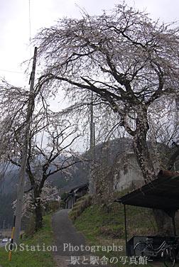 倉本駅の枝垂桜