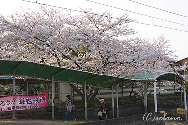 養老駅、構内通路と桜