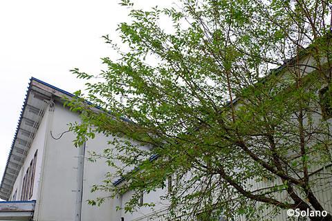 神町駅、旧駅舎に寄り添う桜の木