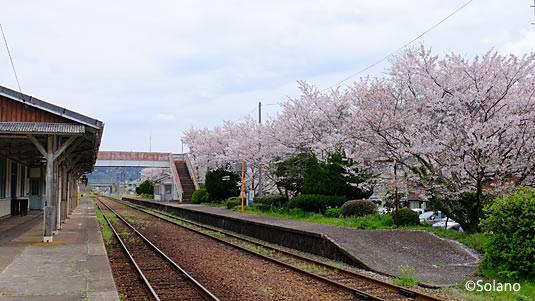 山陰本線・萩駅、ホーム沿いの桜並木
