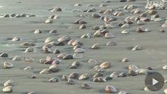 """千葉・九十九里浜の海岸に大量のハマグリ """"持ち帰らないで"""""""