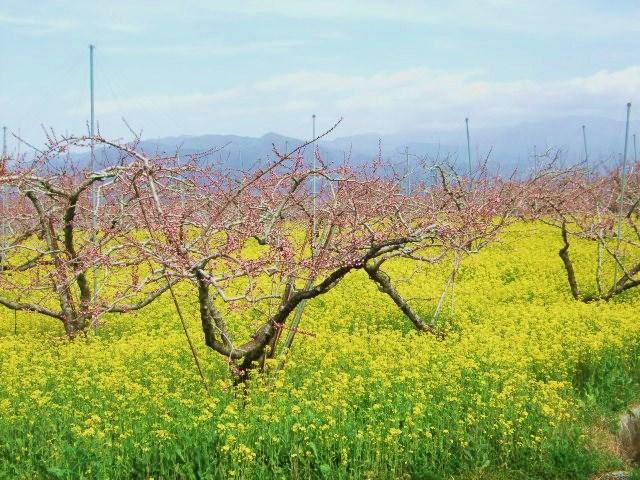2010年4月3日笛吹市桃まつり (7) 最初に訪れたのは、山梨県笛吹市