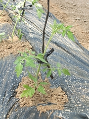 2010,5,8トマト植えた (1)