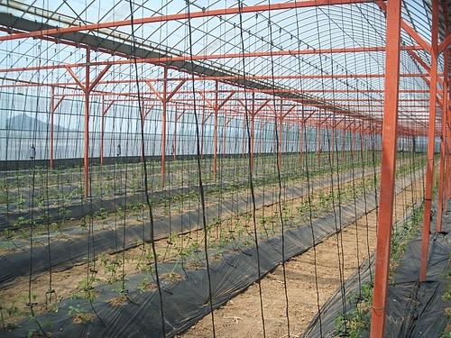 2010,5,8トマト植えた