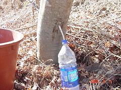 メープル樹液を採る様子