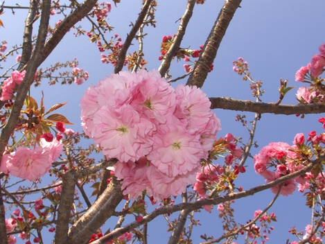 20090412 八重桜