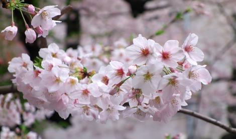 20170408 桜のある風景2