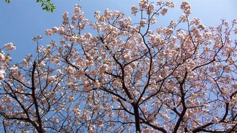 20080415 八重桜