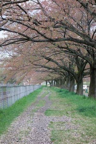 20150411 桜並木