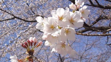 20120408 桜満開3