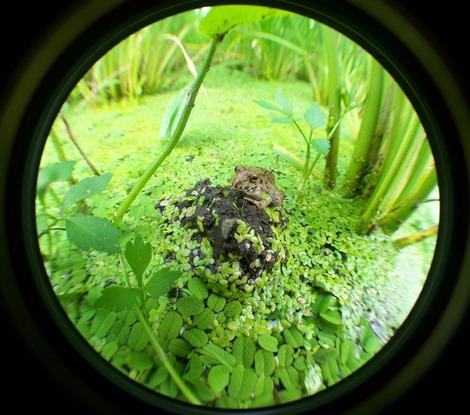 20170805 見沼たんぼの小さな生き物-蛙2