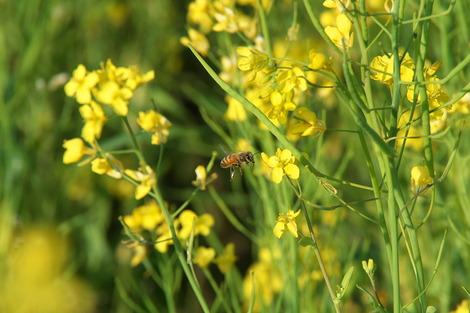 20180421 菜の花ミツバチ