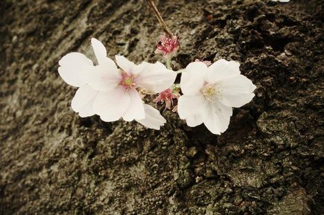 20200412 桜