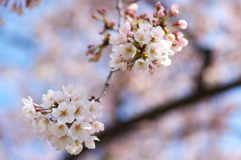 20170402 高校の桜4