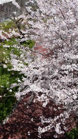 20080401 桜