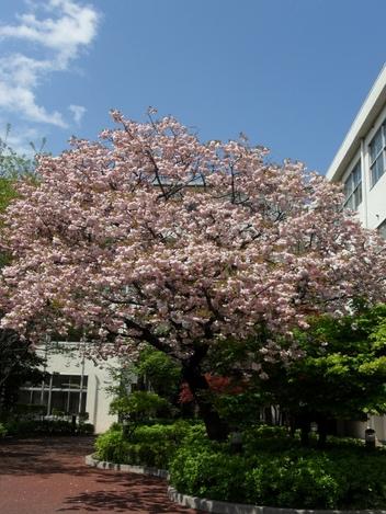 20100424 ぼたん桜