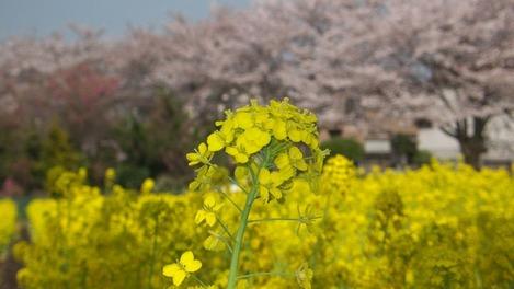 20120412 桜と菜の花