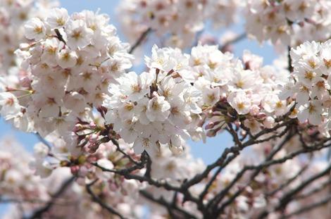 20170402 高校の桜2