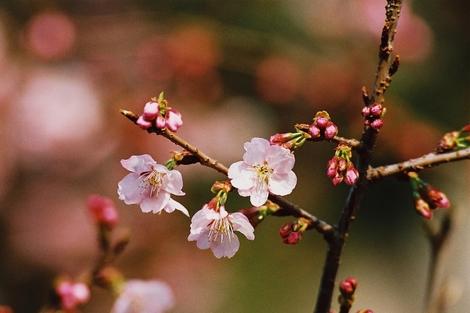 20080316 桜