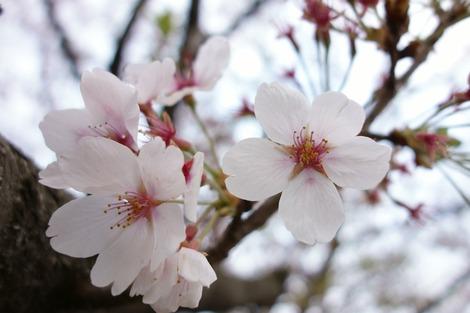 20150411 桜