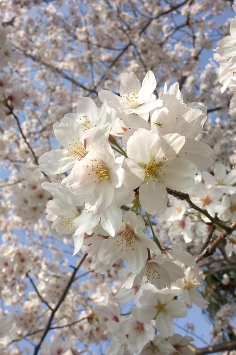 20180329 川沿いの桜3