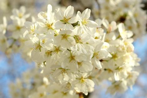 20150328 さくらの花の咲くころに