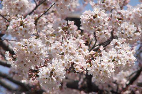 20170402 高校の桜